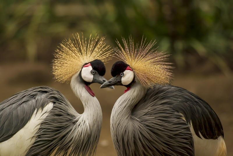 grey-crowned-crane-bird-crane-animal-animal-world[1]