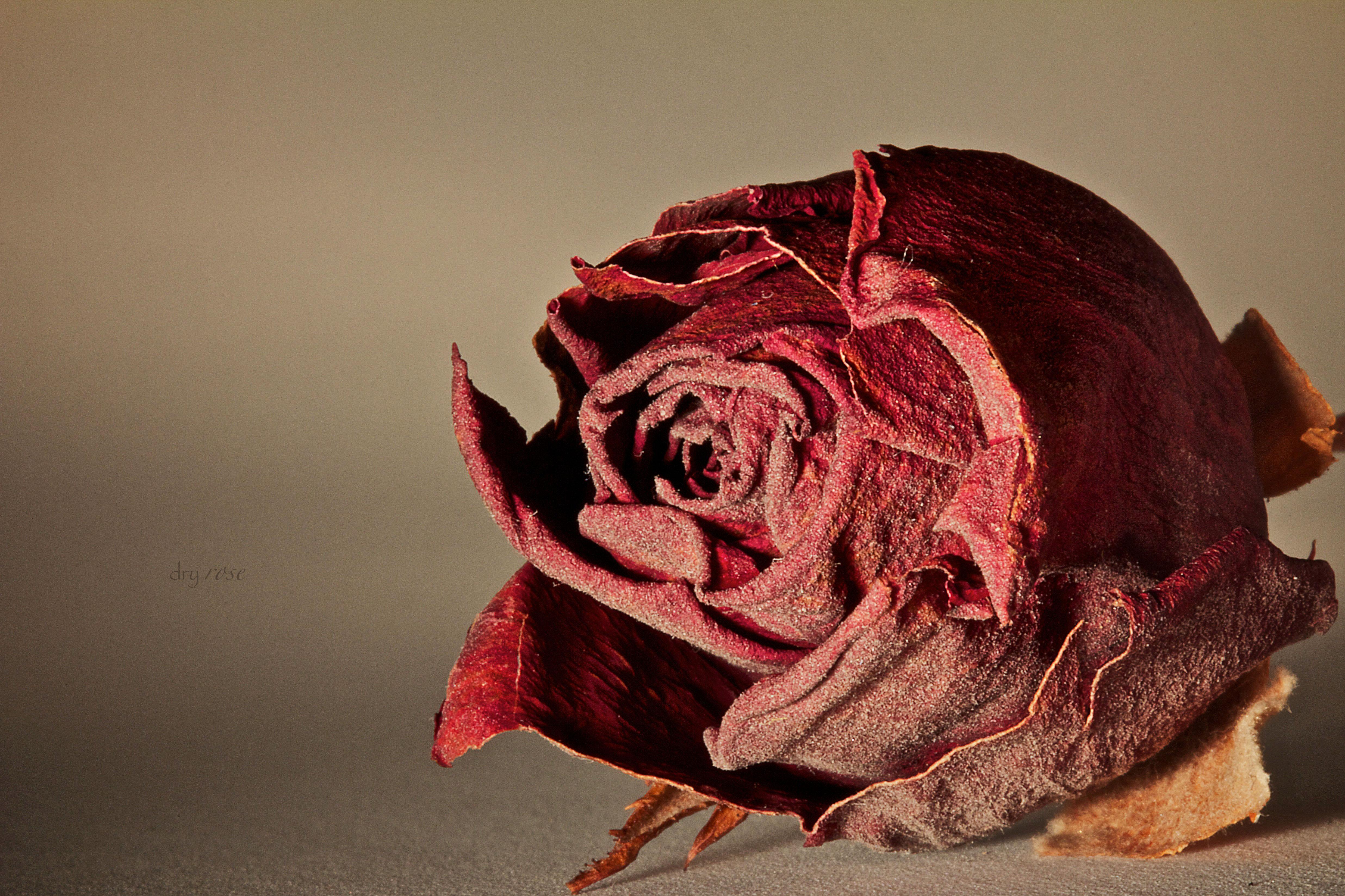 dry-rose1